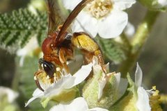 Native Bees of Northern New Mexico