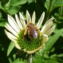 Oblique Longhorn bee