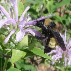 Bumble bee Bombus sonorus