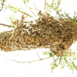 underside of swarm on a branch in May of 2008