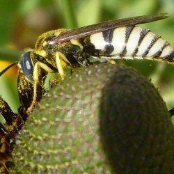Bicyrtes Sand wasp