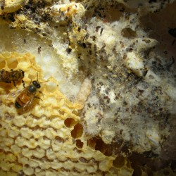 infested honey comb