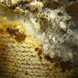 moth infested honey comb