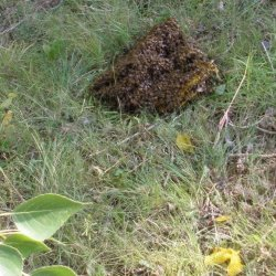 bees-on-ground
