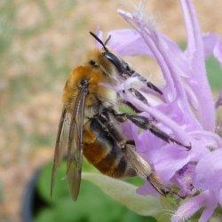 Western Digger bee