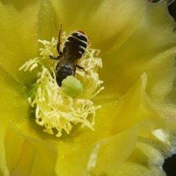 Megachile: Lithurgopsis