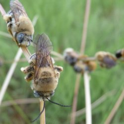 Long horned bees
