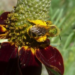 Striped sweat bee