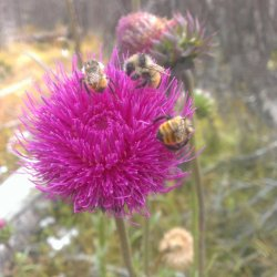 bees-on-thistle-carson-nat-forest