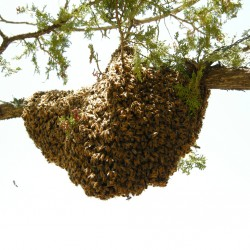 swarm on a branch in May of 2008