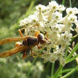 Paper wasp Polistes