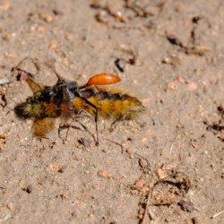 wasp_carrying-caterpillar