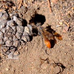 wasp_digging